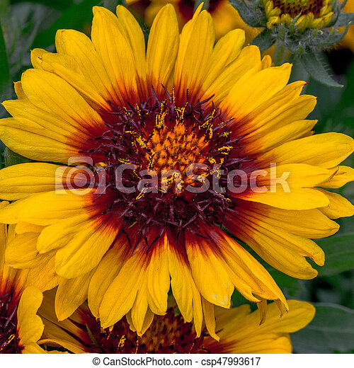 Mesa Blanket Flower Yellow Petals With Red And Orange Center Mesa