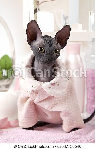 mettre, habillé, chaton, portrait, sphinx, pyjamas