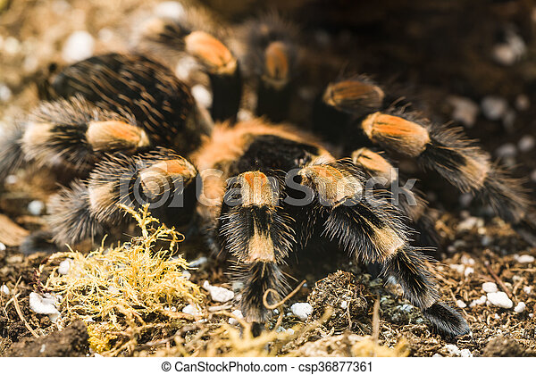 Mexican Redknee Tarantula Poisonous In A Terrarium