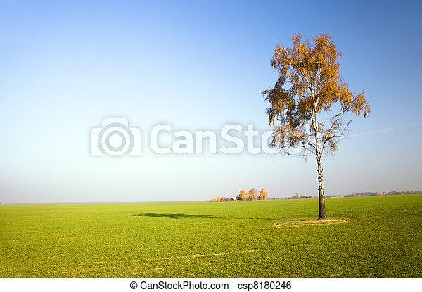 mező, nyírfa - csp8180246