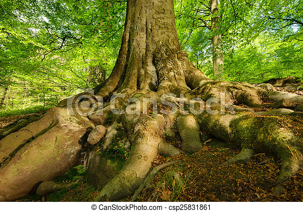 Mighty roots of a majestic beech tree - csp25831861