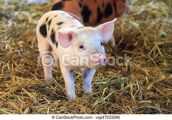 Mignon porcelet mignon peu pays bas caresser tr s sus scrofa cochon nouveau n - Image de cochon mignon ...