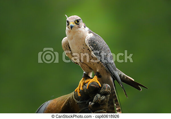 Migrant falcon sitting on falconic gloves - csp60618926