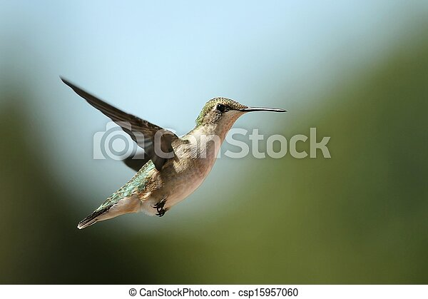 Migrating hummingbird - csp15957060