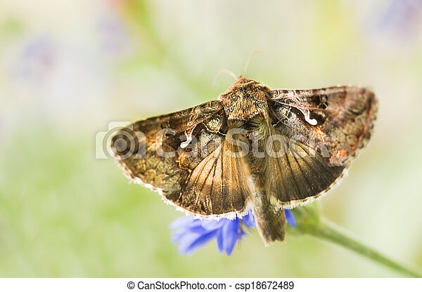 Migratory moth Silver Y or Autographa gamma butterfly  - csp18672489