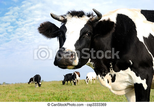 milch cow on green grass pasture - csp3333369