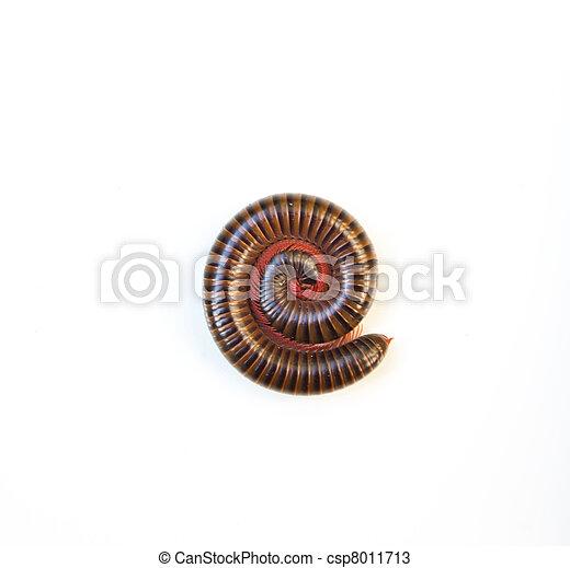 Milipede on white background - csp8011713