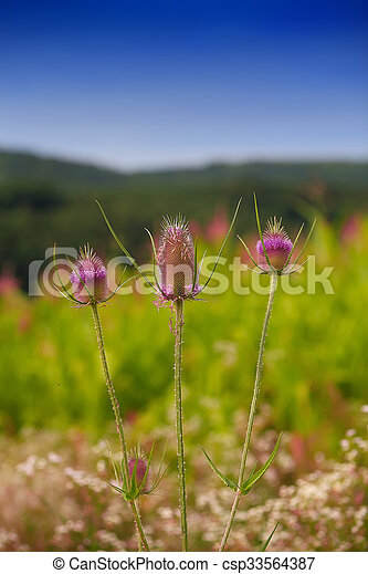 Milk thistle. Flowerhead. Flowering plant - csp33564387