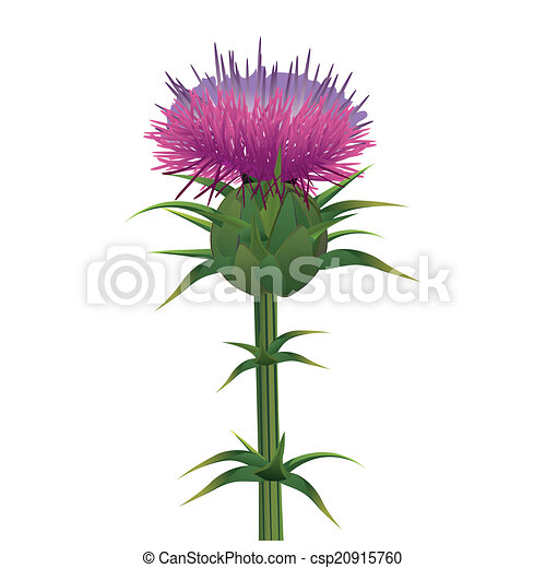 milk thistle silybum marianum isolated on white vector illustration rh canstockphoto com thistle clipart black and white scottish thistle clipart