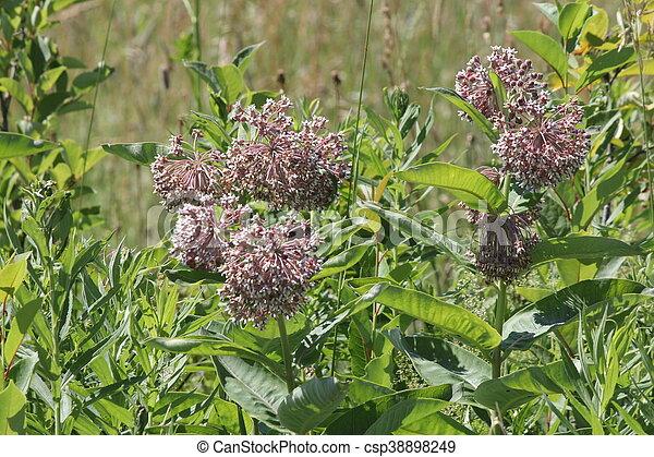 Milkweed, Asclepias syriaca (flower - csp38898249