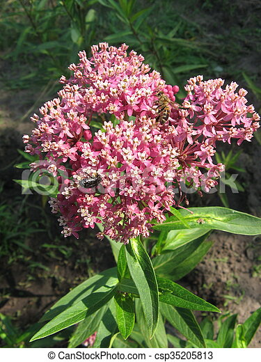 Milkweed , Asclepias syriaca, growing in a meadow. - csp35205813