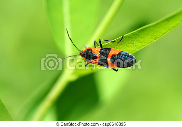 Milkweed bug - csp6618335