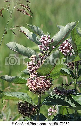 Milkweed Plant-Flowering (Asclepias syriac) - csp59179989