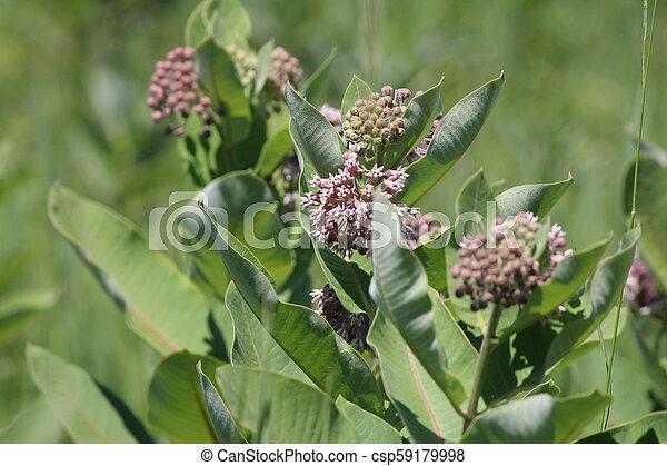Milkweed Plant-Flowering (Asclepias syriac) - csp59179998