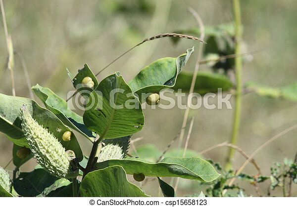 Milkweed Plant, Pods and Snails - csp15658123