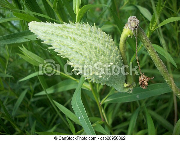 Milkweed - csp28956862