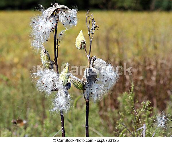 Milkweed - csp0763125