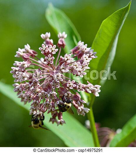 Milkweed - csp14975291