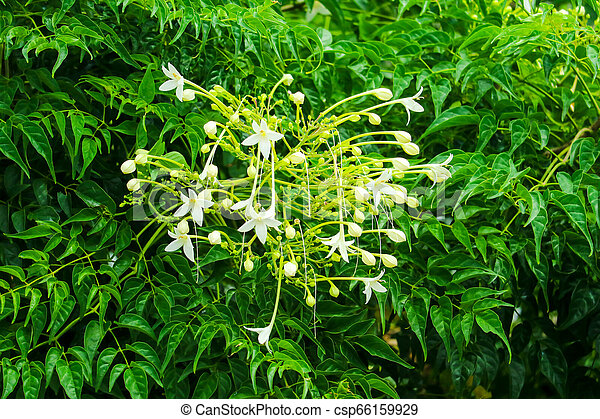 Millingtonia Hortensis Is A Tree White Flower Fragrant Popular