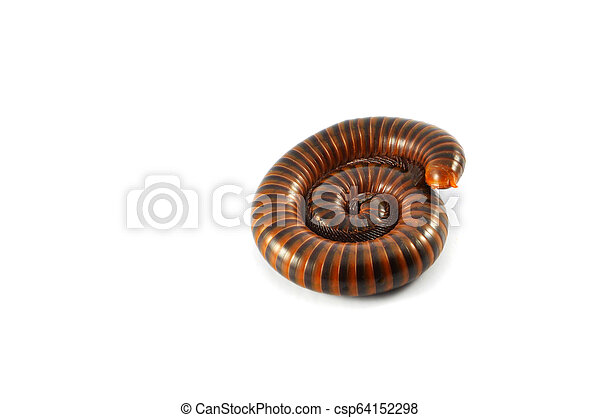 millipede isolated / brown millipede coiled animal insect wildlife - csp64152298