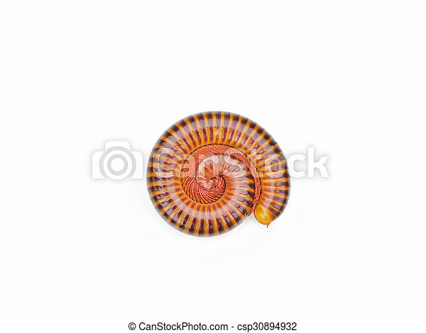 millipede tropical in isolated on white background - csp30894932