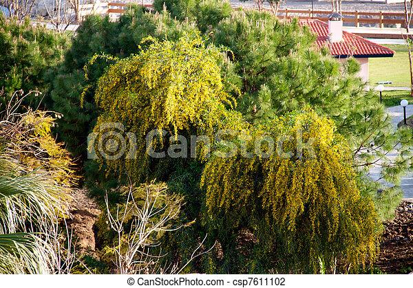 mimosa fleurs arbre jaune photo de stock rechercher images et clipart csp7611102. Black Bedroom Furniture Sets. Home Design Ideas