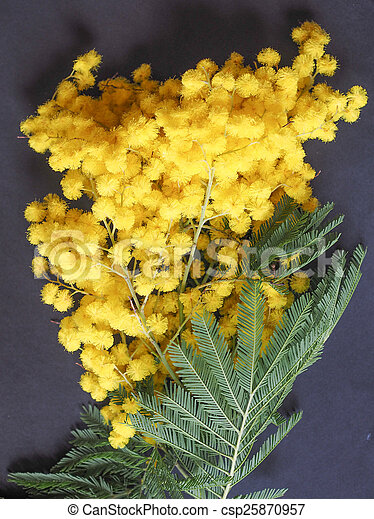 Mimosa flower plant yellow mimosa flowers of acacia dealbata plant mimosa flower plant csp25870957 mightylinksfo