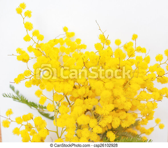 Mimosa flower plant yellow mimosa flowers of acacia dealbata plant mimosa flower plant csp26102928 mightylinksfo