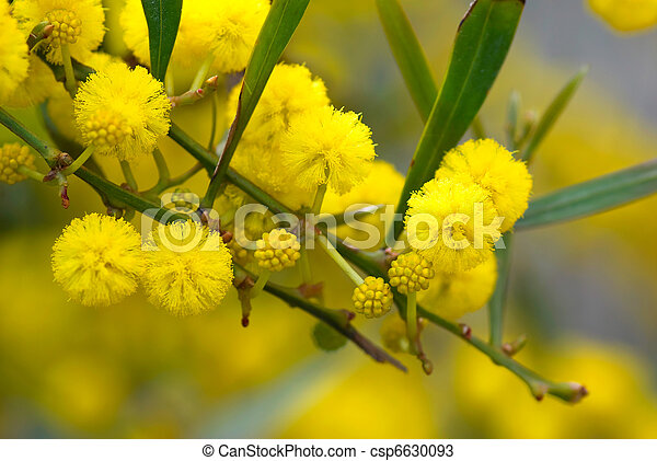 Mimosa tree with yellow fluffy flowers in spring mightylinksfo