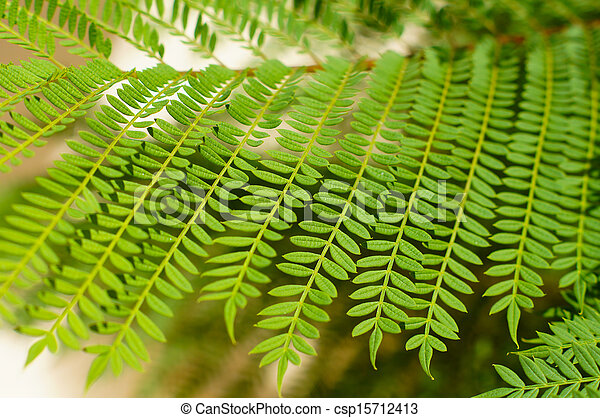 Mimosa Tree Leaves As A Background Bright Green Tropical Acacia