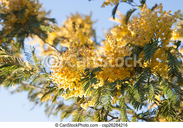 Mimosa tree with yellow flowers in march mimosa tree with yellow flowers csp26284216 mightylinksfo