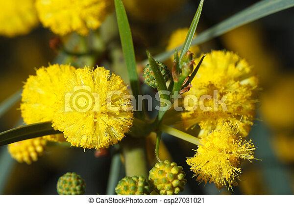 Mimose, makro, blumen, gelber , draußen. Schöne , makro, gelber ...