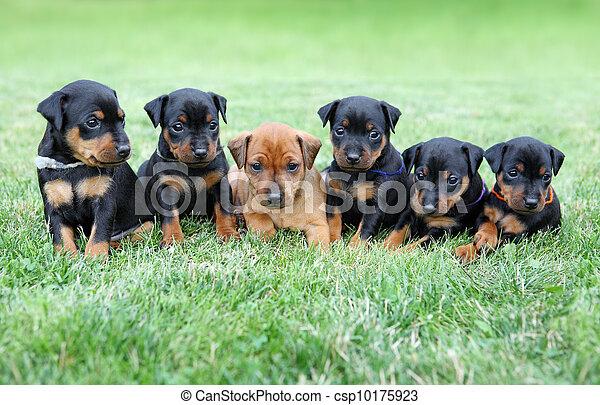 miniatur, pinscher, hundebabys - csp10175923