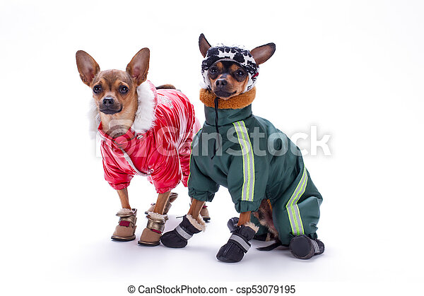 Miniature chihuahua and terrier dogs in clothing. - csp53079195