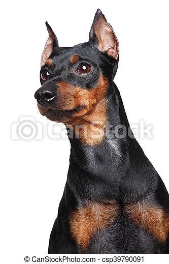 miniature pincher dog miniature pincher zwerg pinscher close up