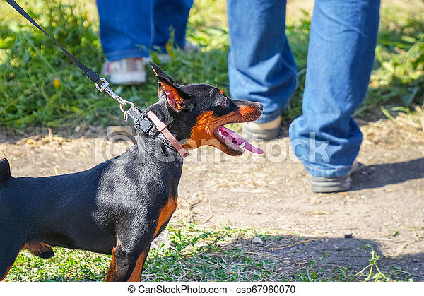 Miniature Pinscher dog on a leash with the owner - csp67960070