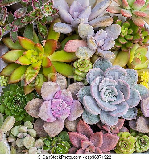 Miniature succulent plants - csp36871322