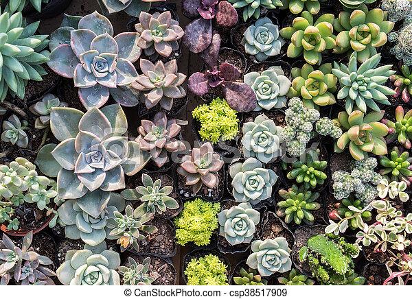 Miniature succulent plants - csp38517909