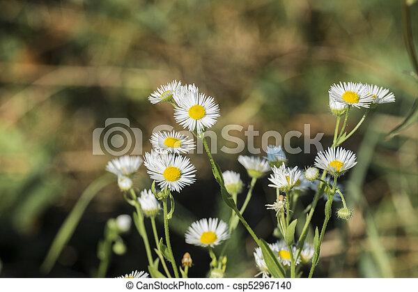 Miniature white flowers daisy fleabane with small petals and yellow miniature white flowers daisy fleabane with small petals and yellow centers erigeron annuus mightylinksfo
