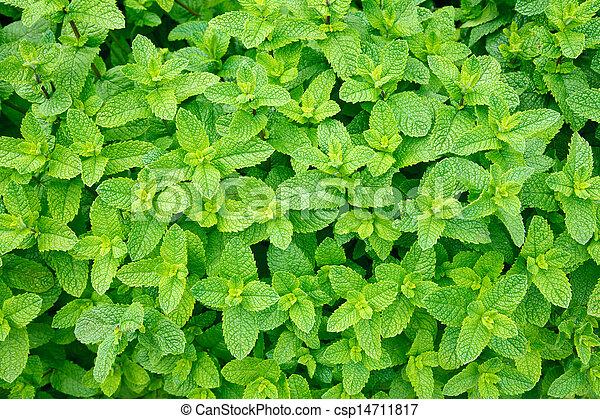Mint leaves - csp14711817