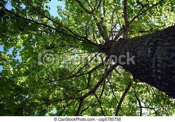 Mirando hacia el follaje del árbol - csp5780758
