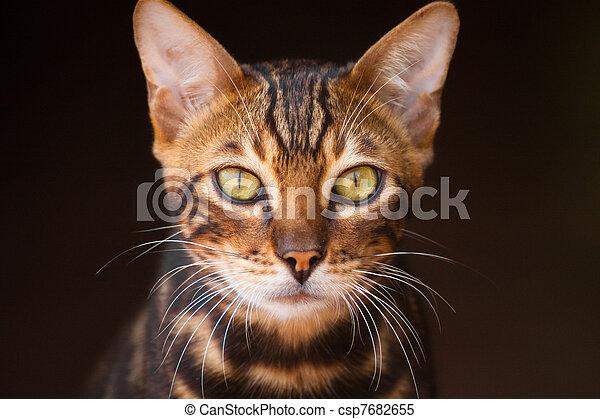 mirar fijamente, gato - csp7682655