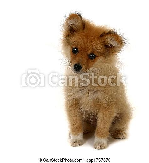 Adorable cachorro pomerano - csp1757870