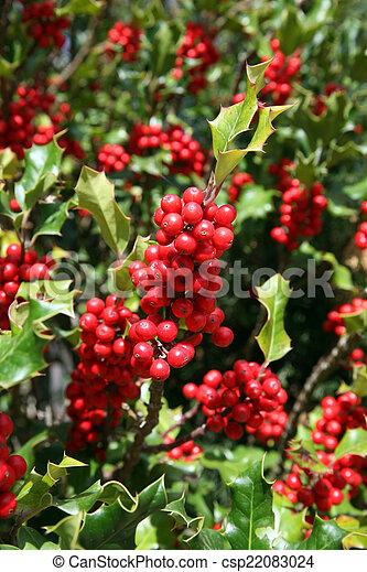 mistelten, røde berries - csp22083024