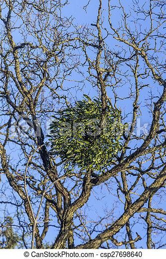 mistletoe on tree under blue sky - csp27698640
