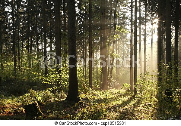 Misty coniferous forest at dawn - csp10515381