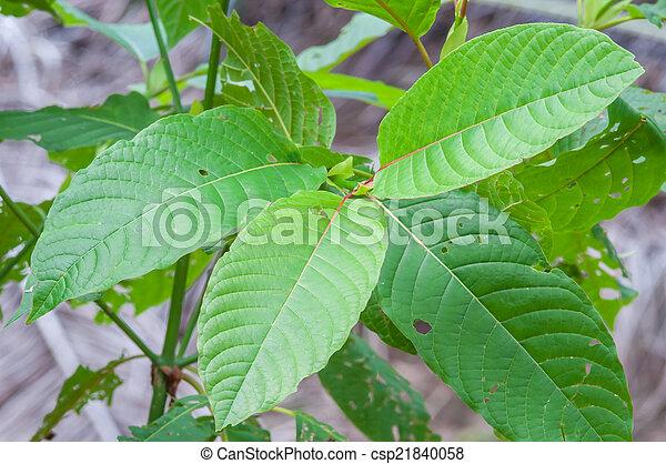mitragyna speciosa korth (kratom) a drug from plant - csp21840058
