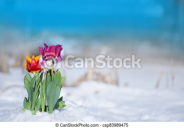 Mixed color tulips on a bright sunny day on the snow - csp83989475