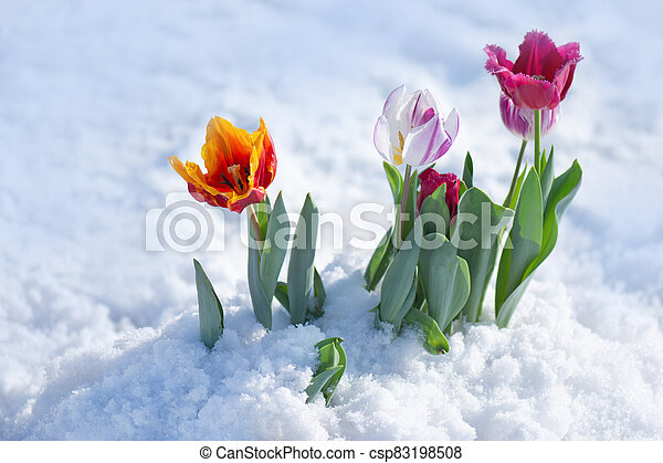 Mixed color tulips on a bright sunny day on the snow - csp83198508