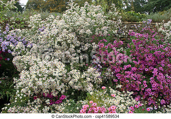 Mixed Colour Aster Flower Bed Mixed Colour White Pink Lilac And